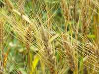 Wheat_jul14_(2)